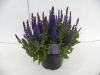 zomerplanten 19 cm pot, 9-6-2010 002