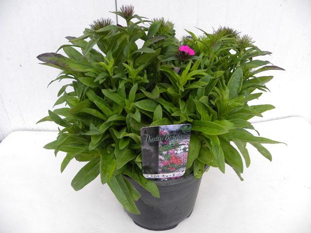 zomerplanten 19 cm pot, 9-6-2010 090