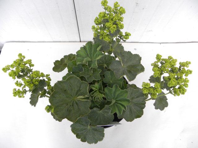 zomerplanten 19 cm pot, 9-6-2010 106